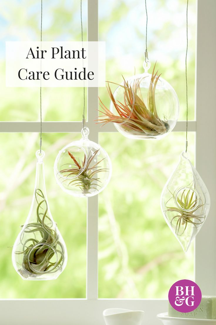 "Air plants are epiphytes, meaning plants that grow without dirt. This plant is almost unkillable, so it's perfect for gardeners who tend to have a ""black thumb."" Find out more about how to care for air plants. #airplants #gardeningtips #houseplant"
