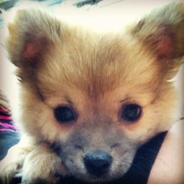 Pomeranian chihuahua mix. So cute. I want a dog like this.