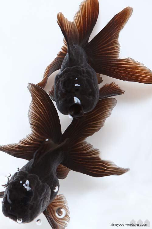 黒オランダ goldfish 金魚