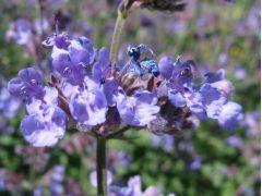 """Nepeta faassenii """" Six Hills Giant """" - šanta kočičí Zahradnictví Krulichovi - zahradnictví, květinářství, trvalky, skalničky, bylinky a koření"""
