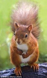 População de esquilo-vermelho tem aumento após declínio de 140 anos.
