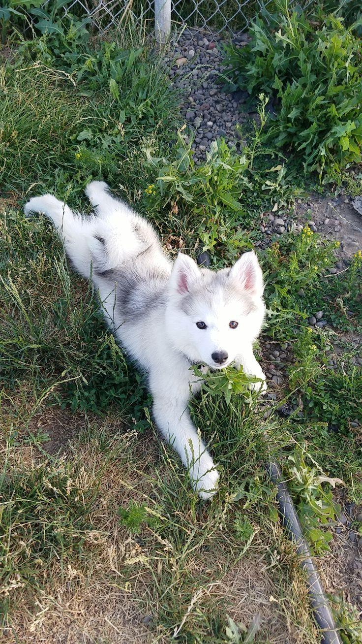 Ash The Pomsky Streckt Ihre Beine Im Hundepark Aus Ift Tt 2tvxjny 2tvxjny Beine Dogclothes Hundepark Pomsky Streckt Hunde Susseste Haustiere Und Husky Hund