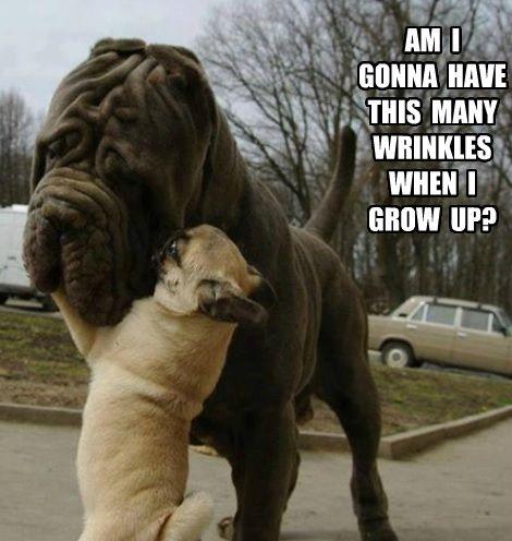 1000+ ideas about Pug Meme on Pinterest   Funny pugs, Pug ...