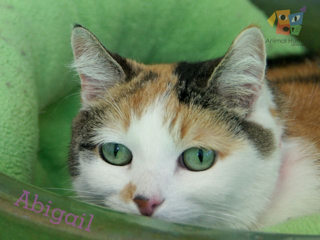 I'm Abigail. If you noticed my photo, I'm sure you see what a stunning beauty I am. I think I must be a photographer's dream. I have a sweet nature, love being petted, am good with children and also with small dogs who get along with cats.