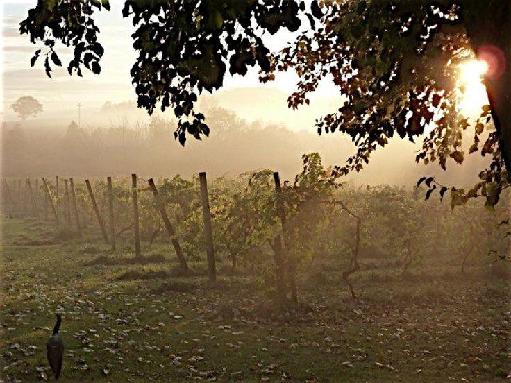 OATLEY VINEBLOG: October morning at Oatley Vineyard, Somerset, UK