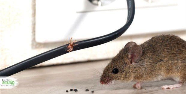 Why Is It Important To Remove Dead Rats From Your House Rodent Infestation Getting Rid Of Mice Rodents