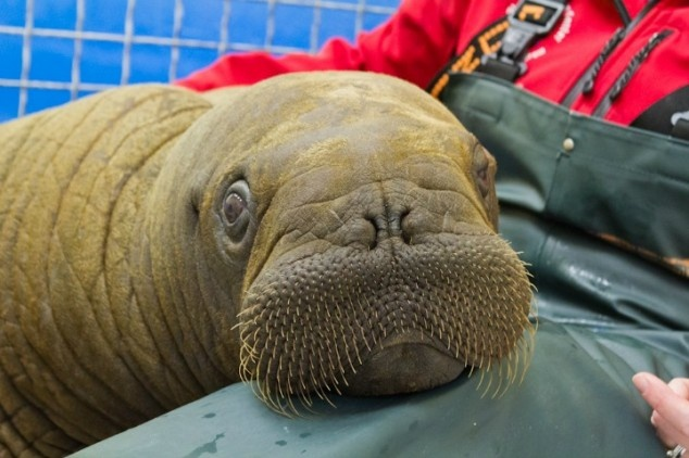 Orphaned baby walrus found passing an Alaskan town on floating ice, rescued