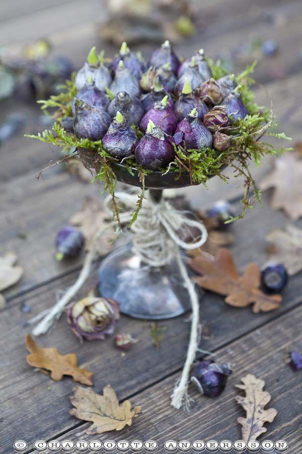 bloembollen op en zilverentaartpalteau met mos