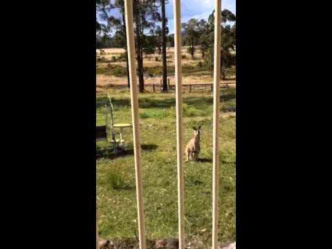 Kangaroo with Joey in Pouch - YouTube