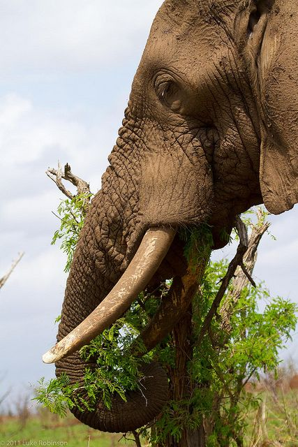 African elephant - up close and personal by Luke Robinson