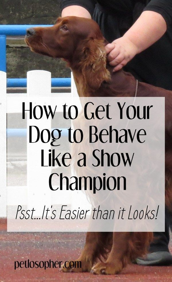 How To Get Your Dog To Behave Like A Show Champion Attention Dog