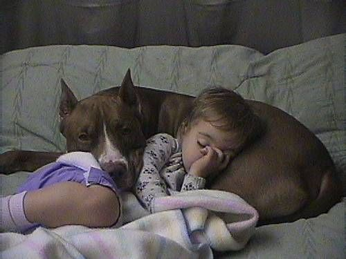 obviously a killer... they were once known as nanny dogs. think about it.  Yeah, tell me pits are scary after looking at this. Love them, best dogs.