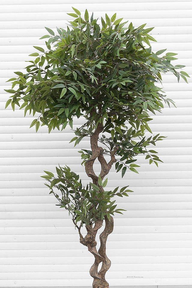 Фикус Exotic дерево.