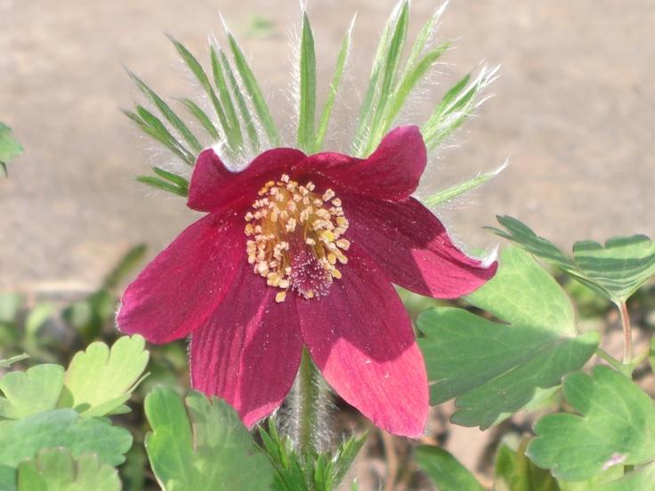 Pasque flower (Easter rose)