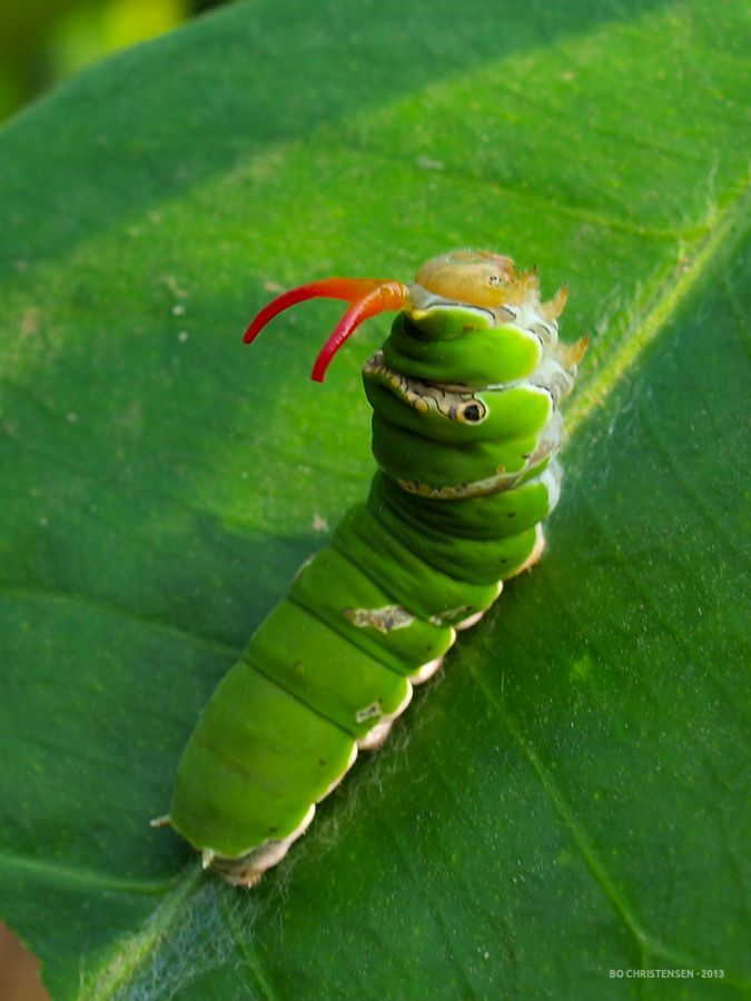 Swallowtail butterfly caterpillar (Papilionidae). When ...