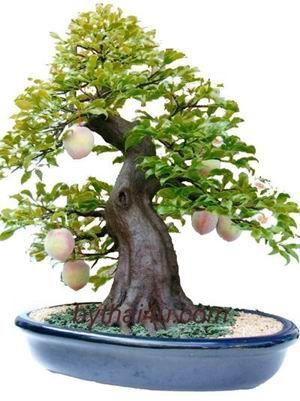 peach bonsai tree. Soooooo cool!!!!