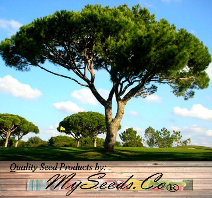 MySeeds.Co - ITALIAN STONE PINE Seed - Pinus pinea Tree Seeds - EDIBLE PINE NUTS - AKA Umbrella Pine - Zone 7 - 11, $4.00 (http://www.myseeds.co/italian-stone-pine-seed-pinus-pinea-tree-seeds-edible-pine-nuts-aka-umbrella-pine-zone-7-11/)