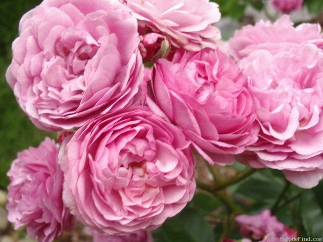 17 Best 1000 images about old garden roses on Pinterest Shrub roses
