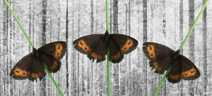 Three butterflies - Copies of a Erebia ligea on a black and white background spruce forest.