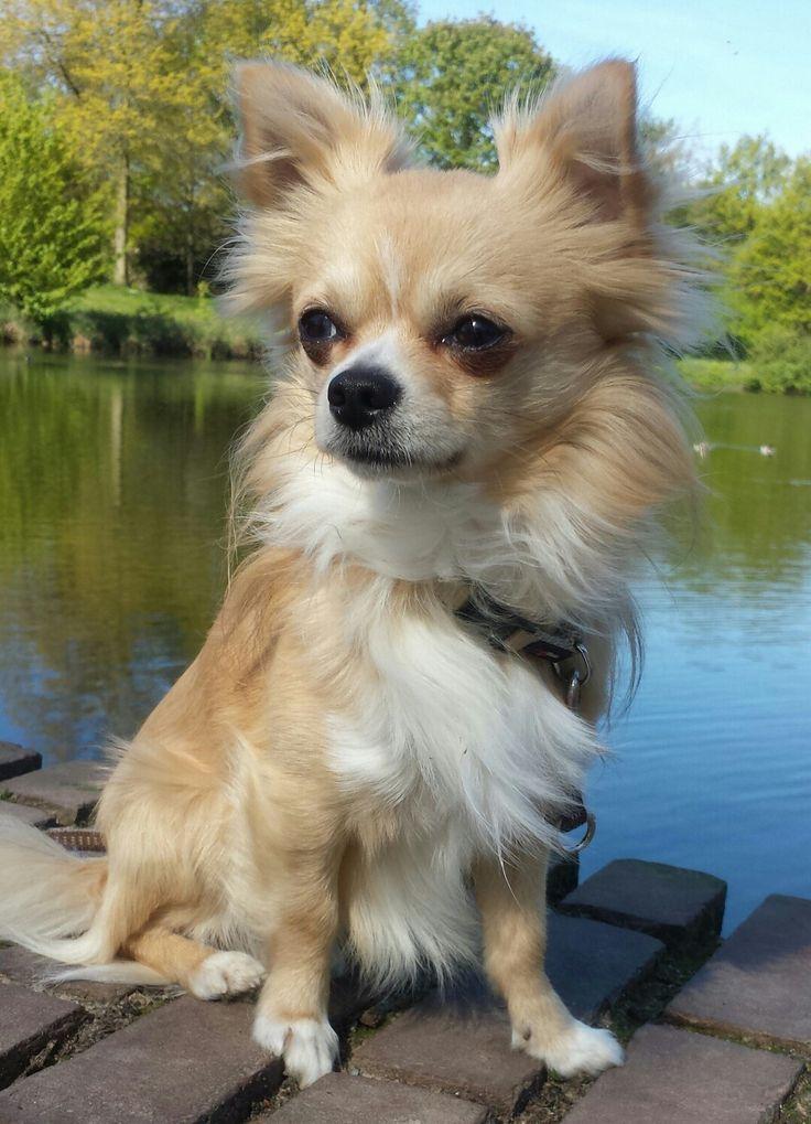Langhaar Chihuahua am See Kleine hunde, Tiere, Lustige tiere