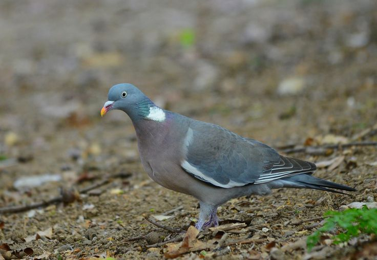 Pombo-torcaz / Wood Pigeon