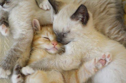 Unduh 93+  Gambar Kucing Persia Lucu Imut Paling Keren