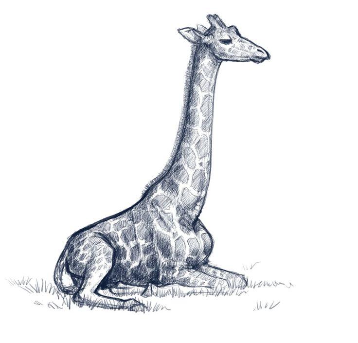 9 best images about giraffe on pinterest giraffe photos for Giraffe draw something