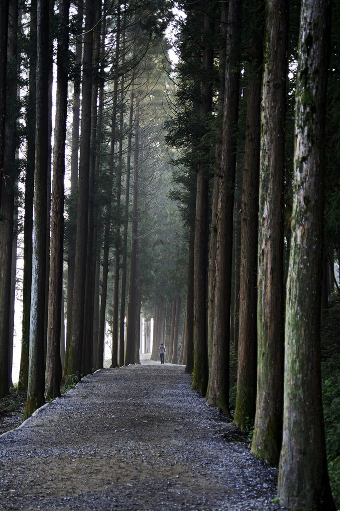 Light Amongst the Cedar Columns (by kanuck3) trail leading to the Boseong Green Tea Fields.