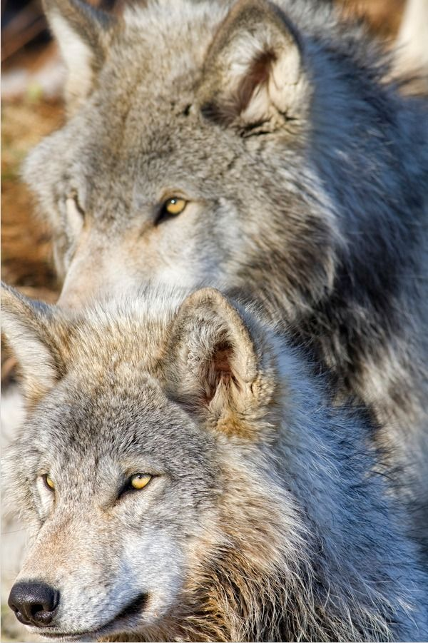 ☀WOLVES