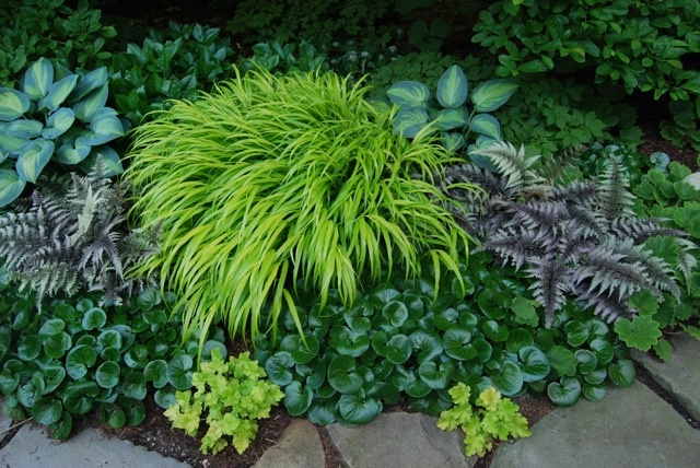 Low-growing grasses are another possibility, and I am hooked on shade-tolerant Hakonechloa macra 'All Gold,' the yellow one here with shiny European ginger (a great nearly evergreen groundcover) and painted fern and Hosta 'June