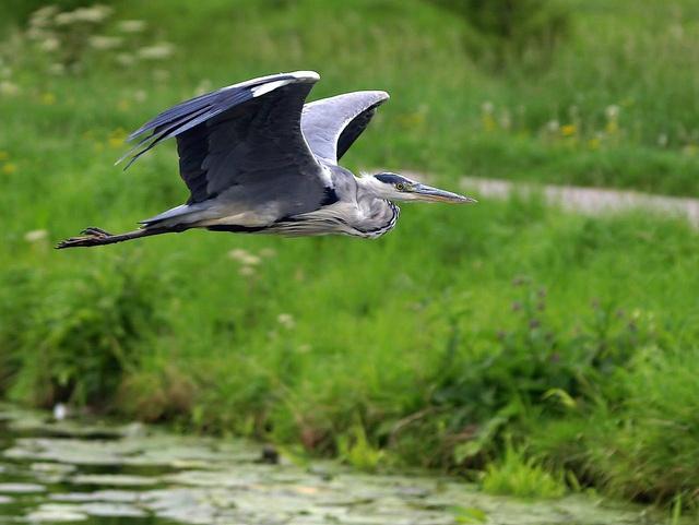Grey heron herons and grey on pinterest
