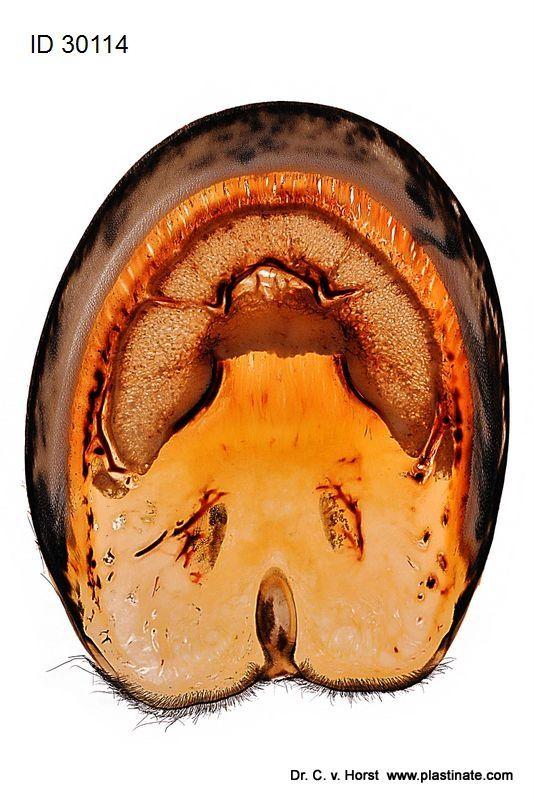 Horizontal sheet plastinate of the horse hoof. Anatomical details, eg. pedal / coffin bone, hoof cartilage, vascularisation, laminae of the hoof corium and connective tissue, horn capsule, skin, hair roots etc.