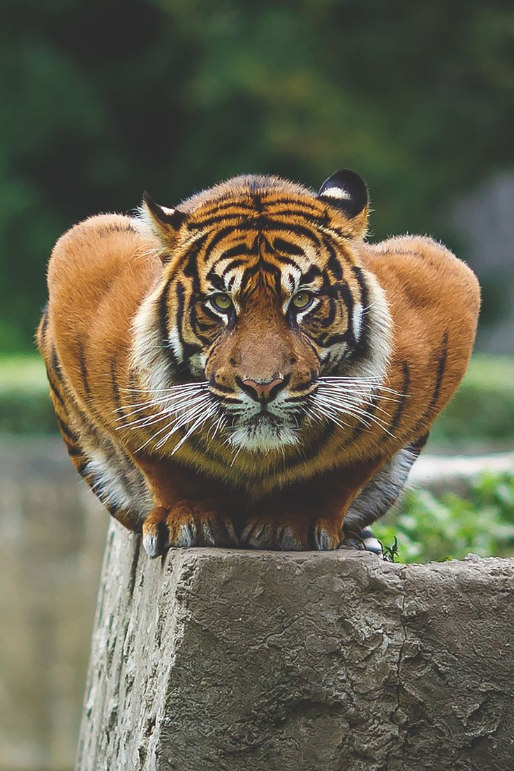 tiger...crouching position is not good, could be position of curiosity about photographer perhaps...