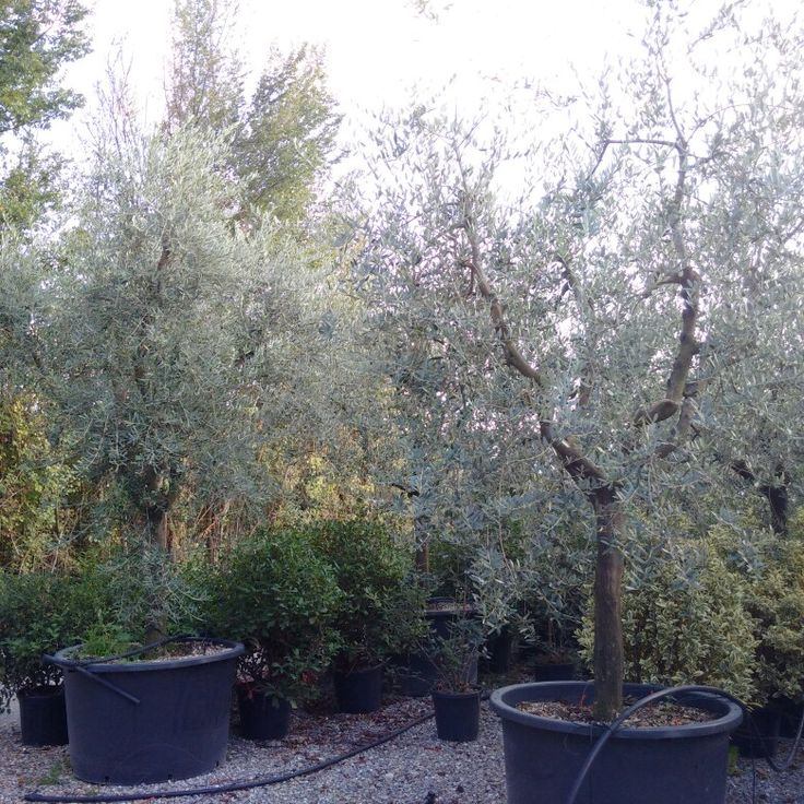 Olea europea tuscany form evergreen plant with a fantastic colors essential for a - Mediterranean garden plants colors and scents ...