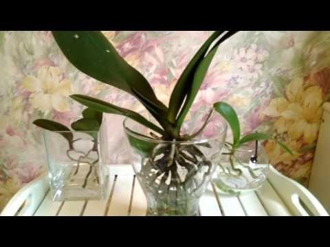 Орхидея в открытой системе(содержание в воде с просушкой). Состояние на данный период. - YouTube