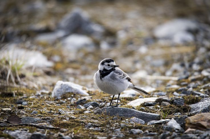 Wagtail by Frode Abrahamsen on 500px