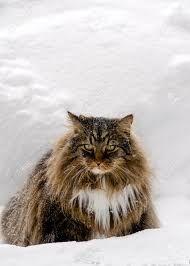 """Képtalálat a következőre: """"hosszú haju cica"""""""