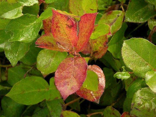 FOR TRANSITION: Salal This sturdy evergreen shrub is found widely along the Pacific coast. Salal grows from 3 - 6'. The fruits are plentiful and delicious. Salal is extremely adaptable, thriving in sun, shade, humus, infertile, dry or moist soils. It requires little care once established.