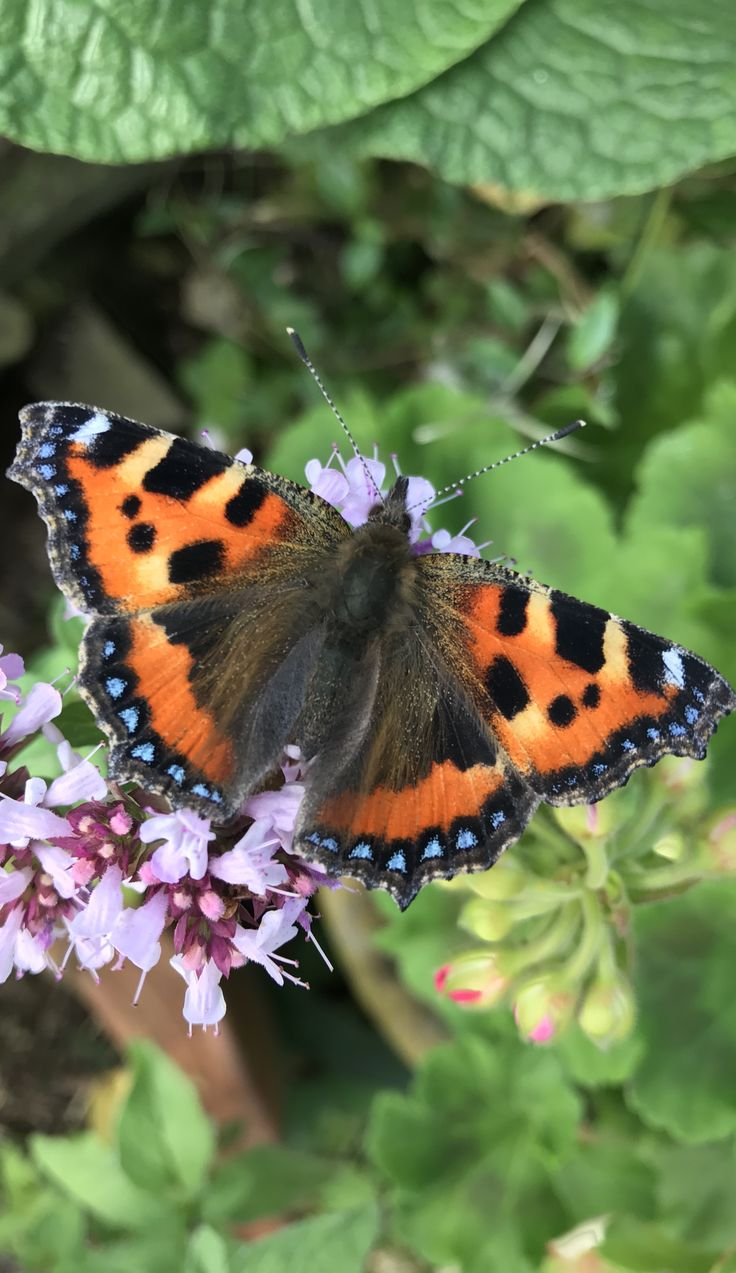 Small tortoiseshell butterfly on marjoram | what to do if you find a butterfly in the house #butterfly