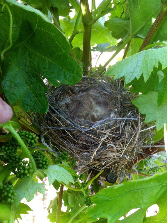 Un pequeño nido que hemos encontrado en un viñedo de Lanciego (Rioja Alavesa) #Wine #Rioja