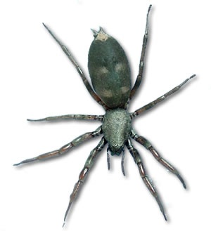 Australian White-Tailed Spider, Deadly/Dangerous