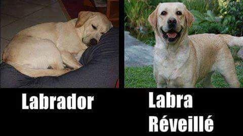 Jeux de mots rigolo avec le labrador