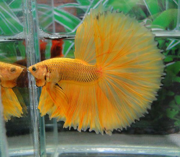 Pineapple halfmoon betta fighting fish pinterest betta for Betta fish life