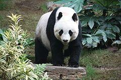 Panda wielka (Ocean Park, Hongkong)