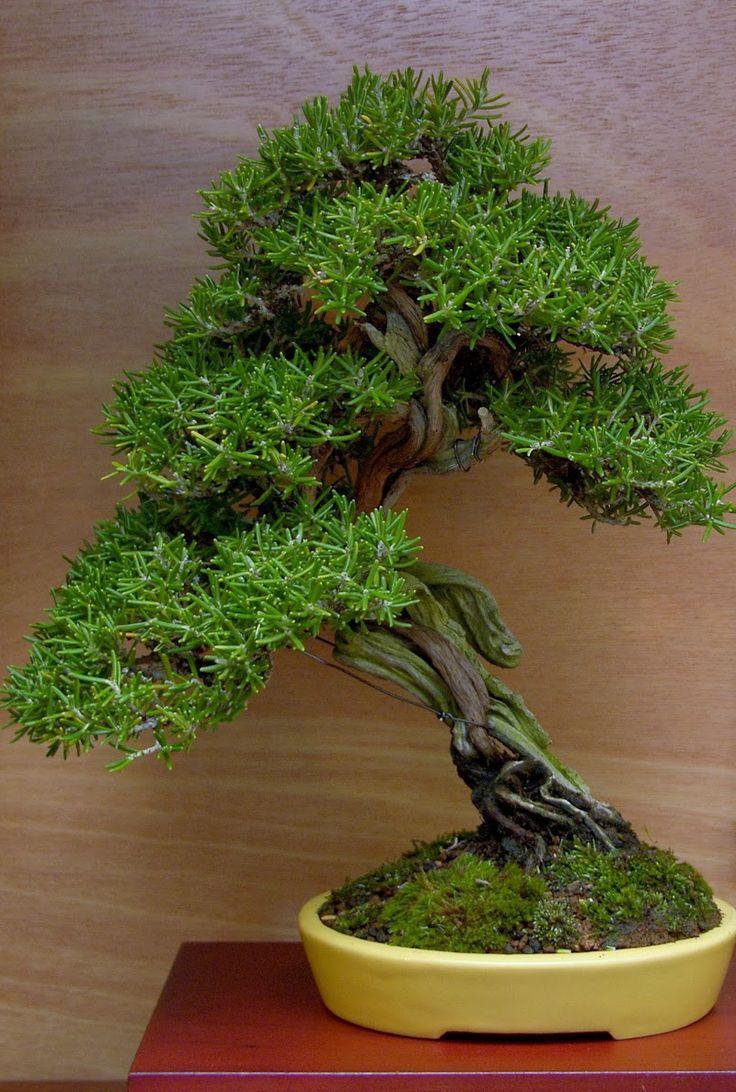 Rosemary (Rosemarinus oficinus)