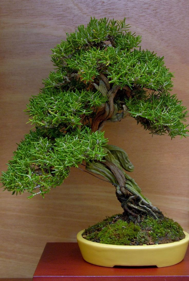 1000 Images About Bonsai On Pinterest Bonsai Trees Japanese