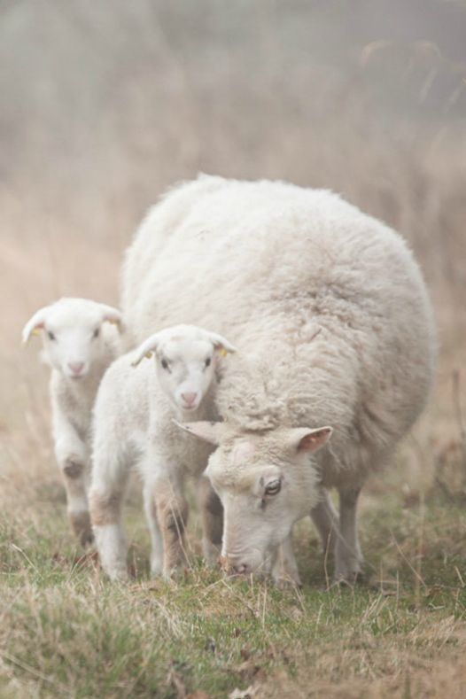 Mother sheep with twins                                                                                                                                                                                 Mais