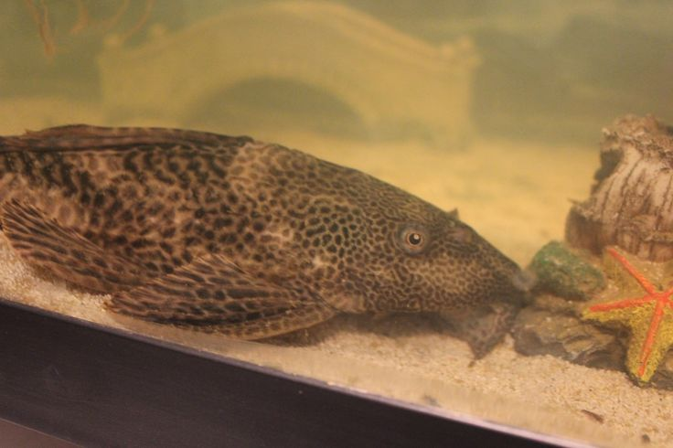 My massive Pleco Hoover who is over a foot long