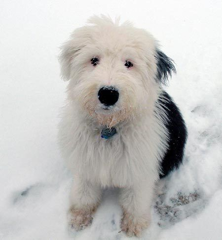Old English SheepdogSheep Dogs,  Bobtail, Sheepdog Puppies, Old English Sheepdog, Favorite Dogs, Science Nature, Furries Friends, Animal, Sheepdog Photos