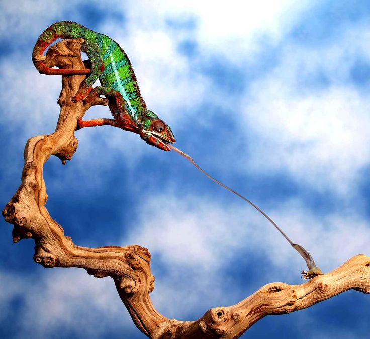 Un caméléon projète sa langue pour attraper un mante religieuse.